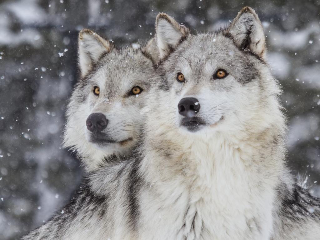 Two grey wolves in Yellowstone National Park. it costs about $20 for a wolf-hunting license and numbers of wolves have plummeted from 500 to 100 in one year. Picture: Supplied