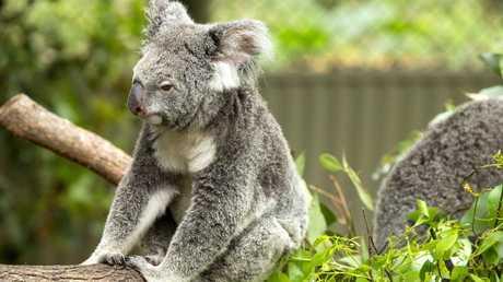 Mr Fensom said 1000 koalas prematurely die each year. Picture: Richard Walker