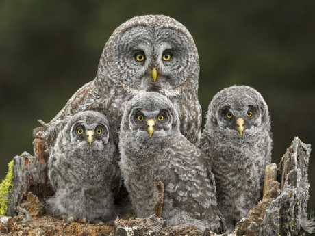 These owls look thrilled to have their family portrait taken. Picture: Connor Stefanison/Wildlife Photographer of the Year/Natural History Museum