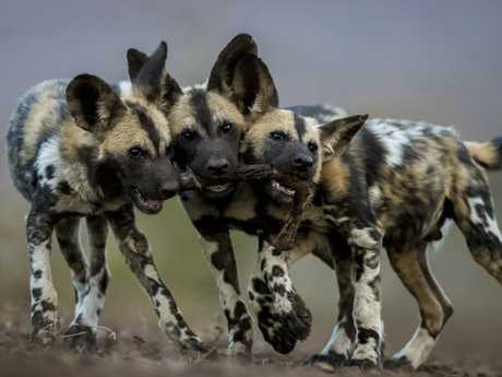 These playful African wild dog pups grown into merciless killers. Picture: Bence Mate/Wildlife Photographer of the Year/Natural History Museum