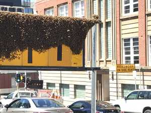 Bee swarm creates a buzz in Hobart