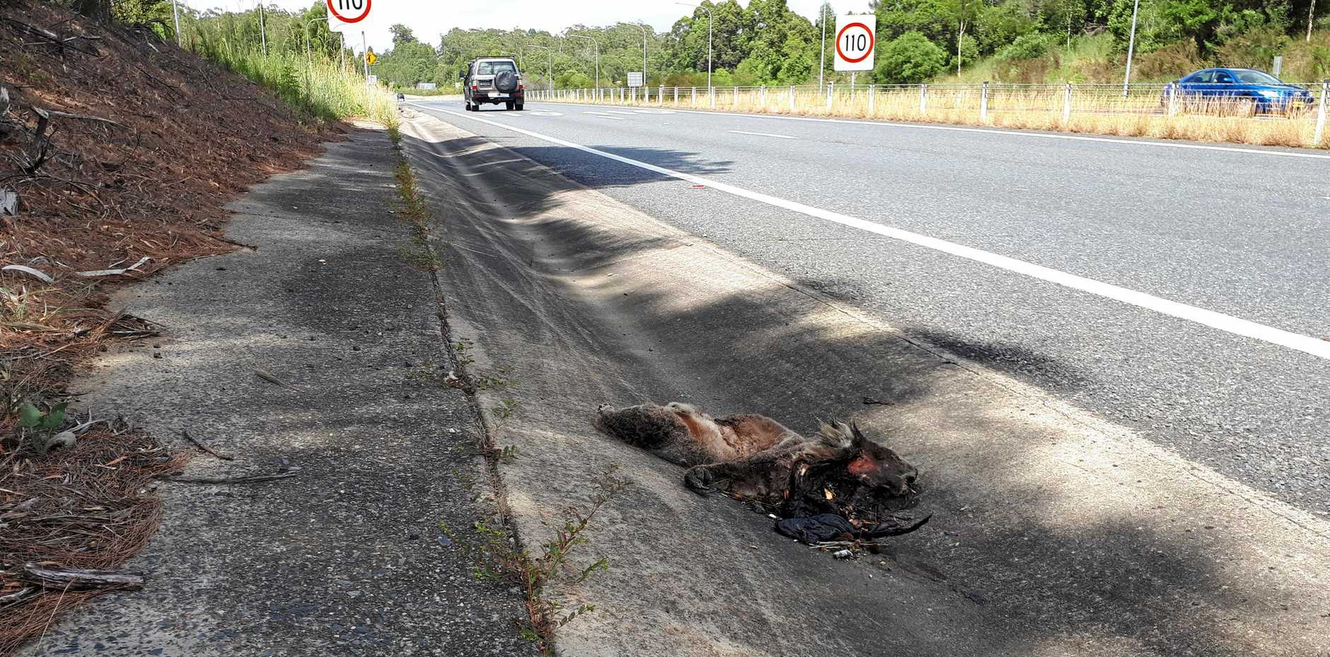 The koala was hit by a car and left for dead on the highway near the Lyons Road intersection.