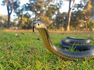 CCTV captures battle between dog and eastern brown snake