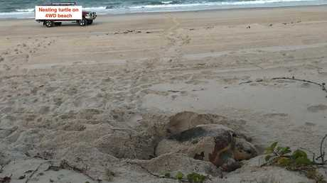 A turtle nesting on a beach at Bribie Island. Picture: Diane Oxenford