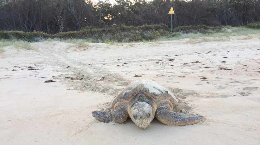 A nesting turtle at Bribie Island. Picture: Diane Oxenford