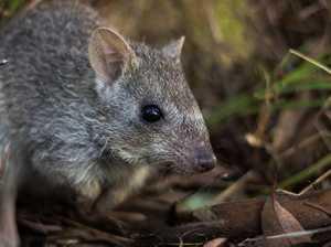 Urgent help needed for FNQ marsupial's survival