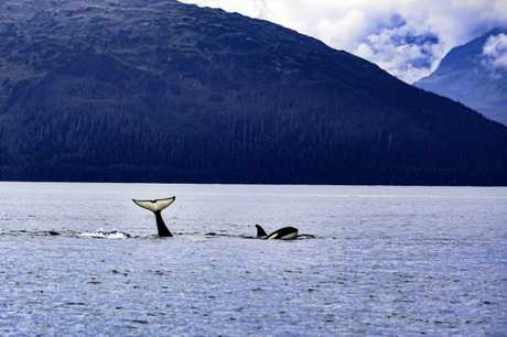 Tourists delight in spotting orcas on an Alaskan tour.