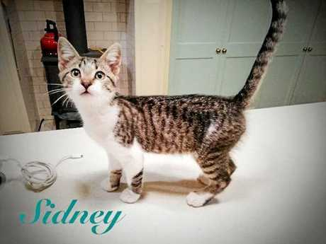 Sidney is every bit as adorable as his photo. He loves company and is very happy to be cuddled and petted. Sidney is 10-12 weeks old. His adoption fee is $220, which will cover the cost of his desexing, vaccination, micro-chipping, and flea and worm treatment.