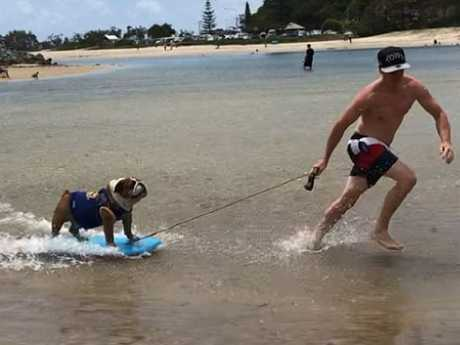 Sergeant, a 4-year-old bulldog from the Gold Coast, is a social media star. @sgt_bulldog
