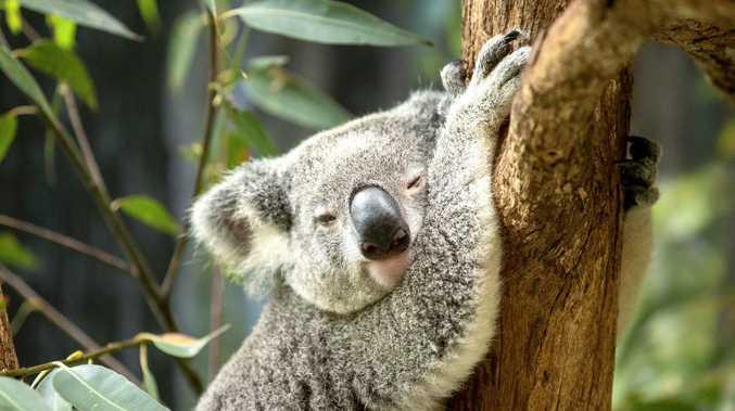 More bushland preserved for koalas
