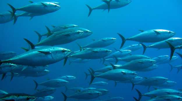 School of tuna swimming in a trap