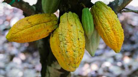 Cocoa pods bulging from a cocoa plant. This is the starting point for your chocolate bar. Picture: Kwabena Agyeman / KwaMani Photography.