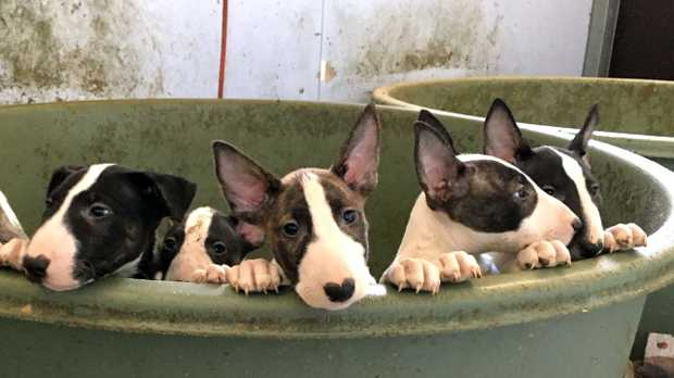 Some of the bull terrier pubs seized from a property in central Queensland. Pictures: RSPCA