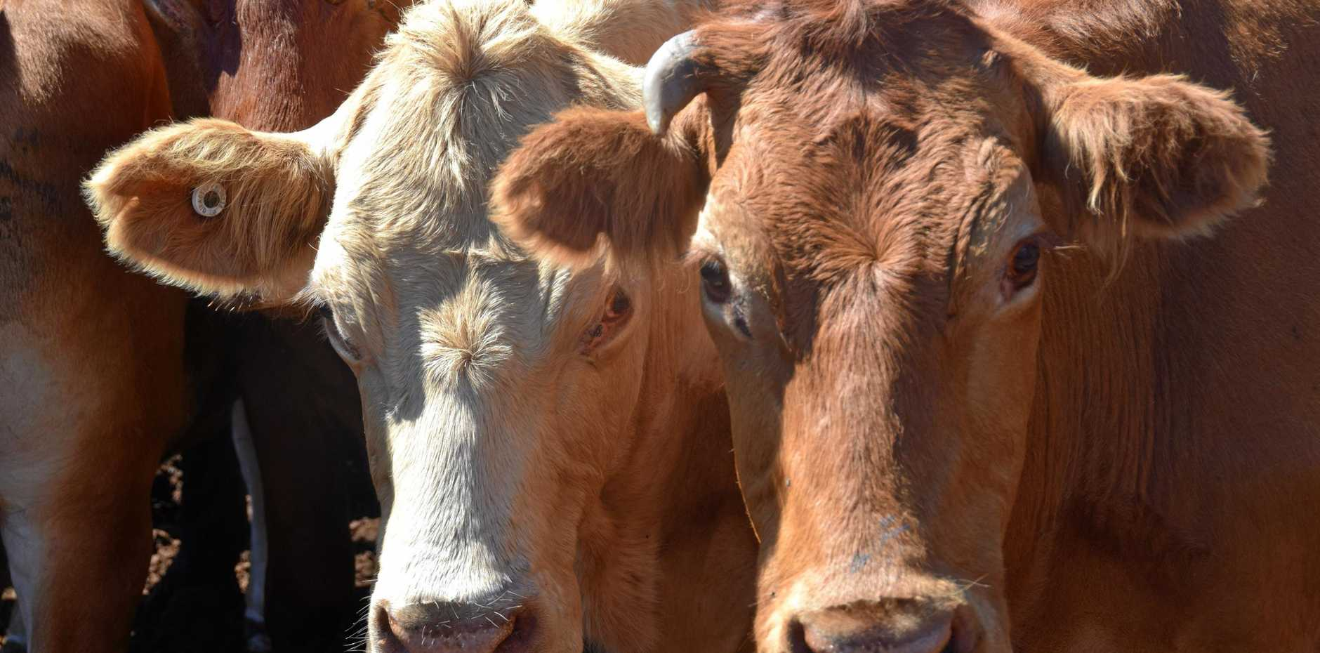 TAKE ACTION: Owners are urged to protect cattle like these at the Coolabunia saleyards against the buffalo fly.