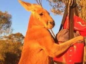 Australia's most iconic kangaroo dies