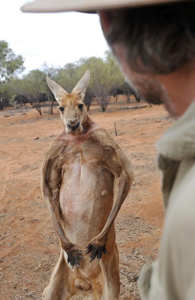 Roger the Alpha male red kangaroo has died.