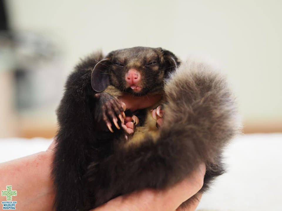 Bailey the yellow-bellied glider is currently recovering at the Australia Zoo Wildlife Hospital.