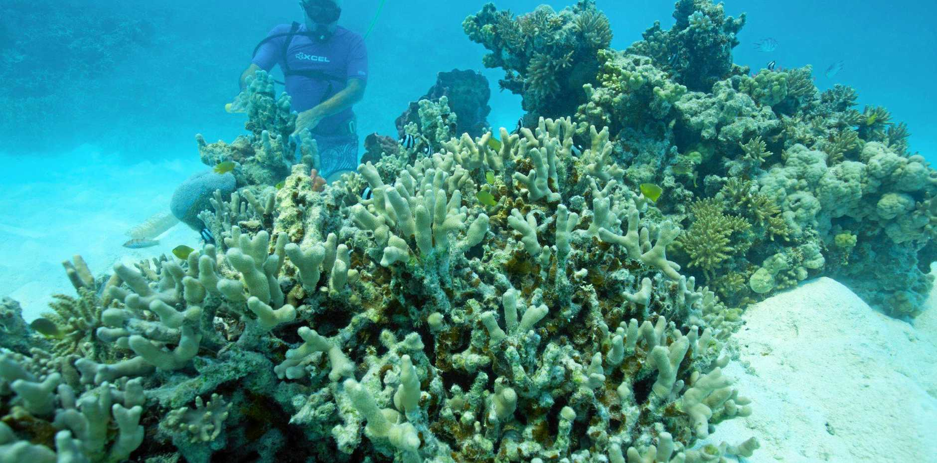REEF HEALTH: Probiotics could be key to saving coral from bleaching.