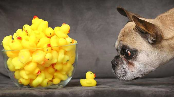 Beefcake the french bulldog underwent surgery after eating four rubber ducks. Picture: David Caird