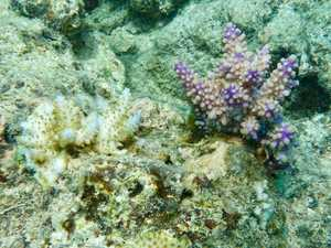 Coral shows sign of recovery, but it could be too late