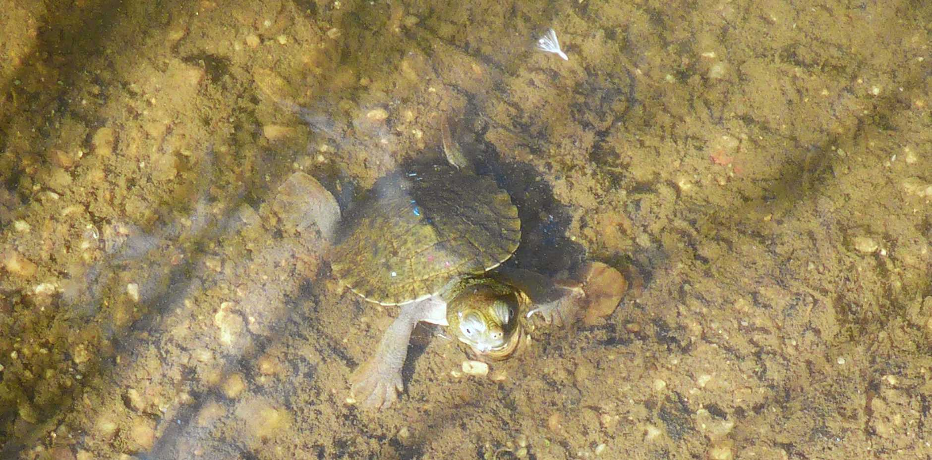 Bell's Turtle hatchling which can be found at Girraween.