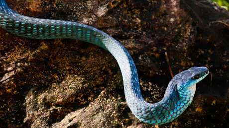 Cairns Snake Catcher Matt Hagan removed this beautiful 1.5m-long blue phase common tree snake that was threatening to enter a property at Gordonvale. The town and area south of Cairns has a healthy population of the reptiles but Mr Hagan said they were quite rare to find in Far North Queensland. PICTURE: CAIRNS SNAKE CATCHER