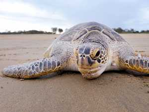 Mackay men charged with taking of protected green turtle