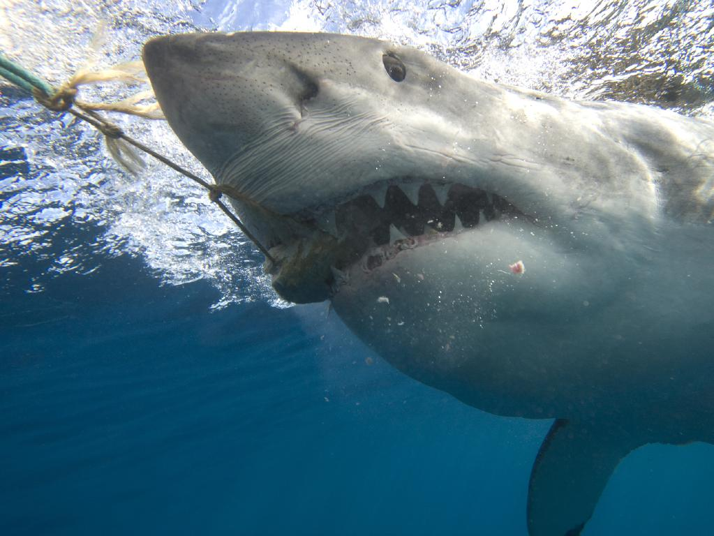 Great white shark populations have fallen up to 92 per cent along Australia's eastern coast.