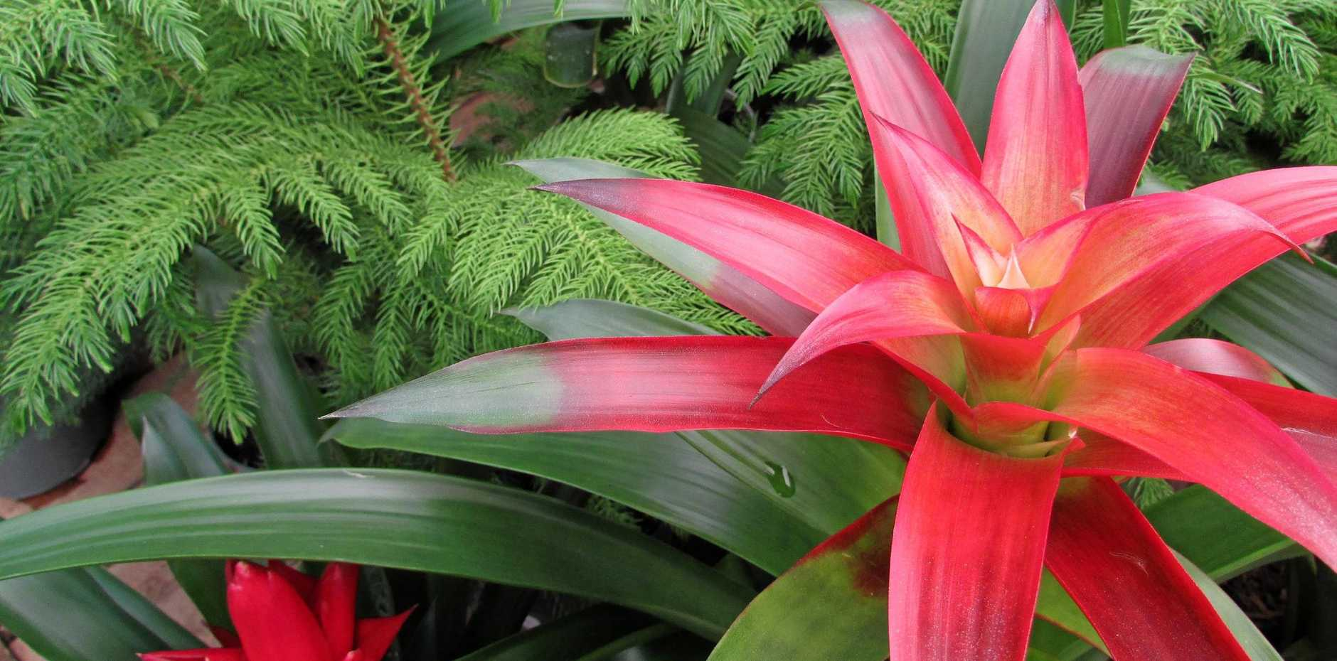 A blooming red bromeliad, pictured with Norfolk pine trees, would make a wonderful Christmas gift.