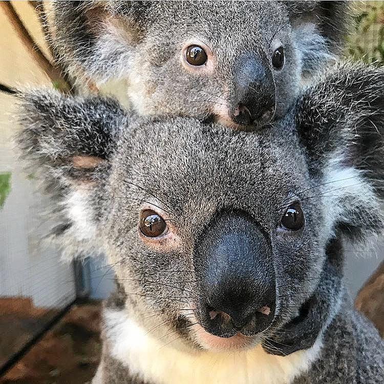 A new koala habitat is being set up near Oakey.