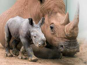 Adorable baby rhino welcomed to Australia Zoo family