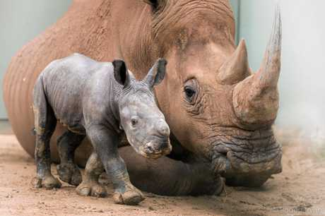 Australia Zoo has a new baby rhino in town. Carrie was born on December 4 and is already settling in well with the Zoo family.