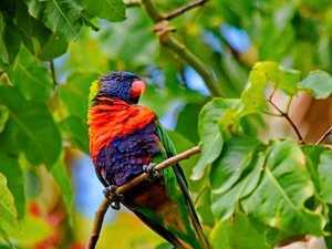 Rise of the rainbow lorikeet as Aussie backyards go native