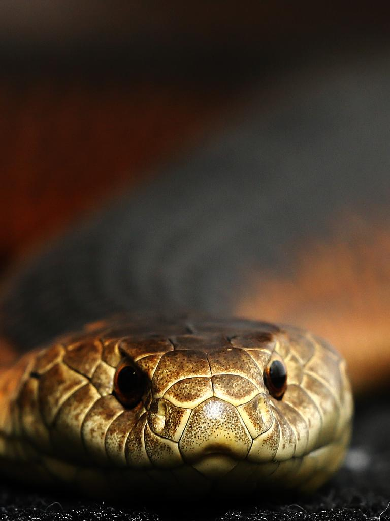 When brown snakes strike, they release the quickest killing venom in the world