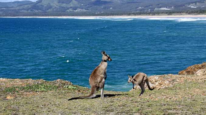 Headland kangaroo population at breaking point