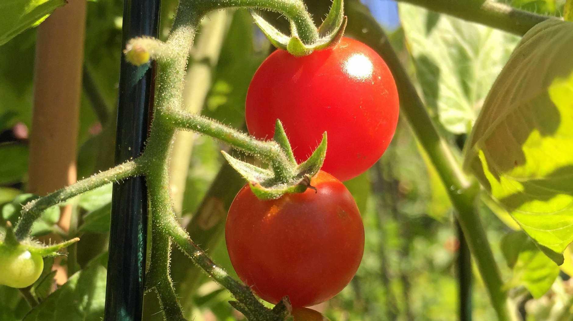 SUMMER GARDENS: Cherry tomatoes