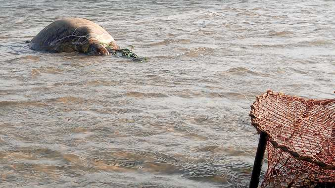 A green turtle died despite the best efforts of rescuers after being caught in a crab pot in the Pumicestone Passage.