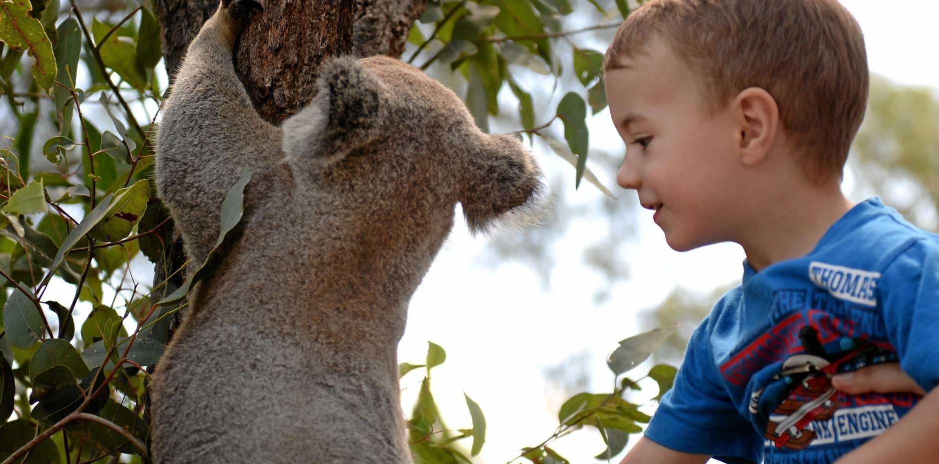 LOVE THE ZOO: Three year old Leyton Steinhardt meeting Rockhampton Zoo's Lleyton the koala.