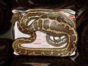 Python enjoys Christmas feast at expense of pet owner