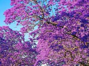 Our Jacaranda's get Insta-famous for NSW