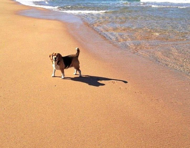Bindi the Beagle enjoying herself on the beach.