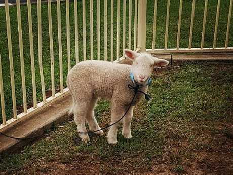 A Corio family is calling for the return of a blind lamb stolen from their front yard prior to Christmas.
