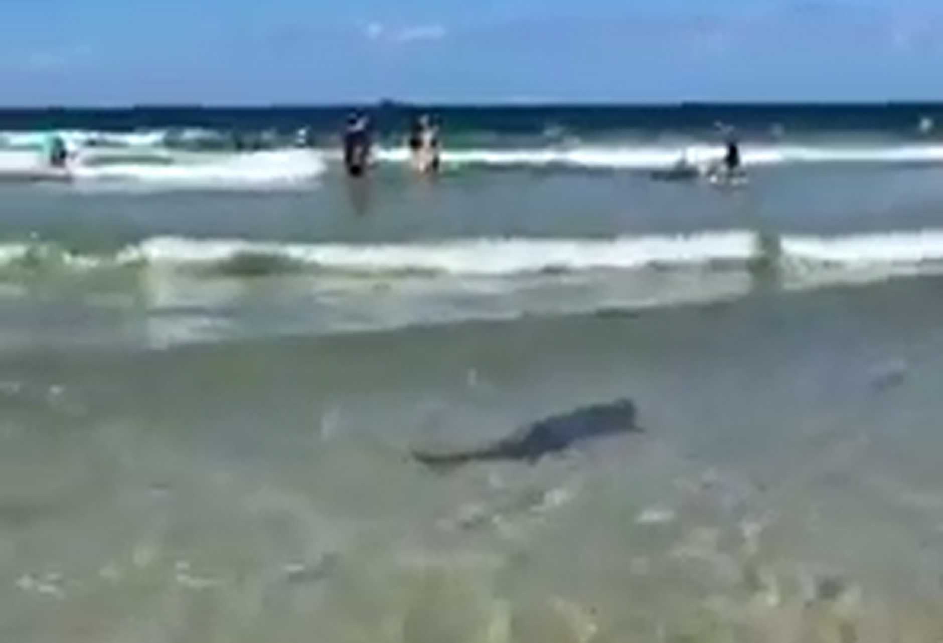 Amazing footage has emerged of a shark swimming amongst swimmers at Byron Bay's Main Beach.