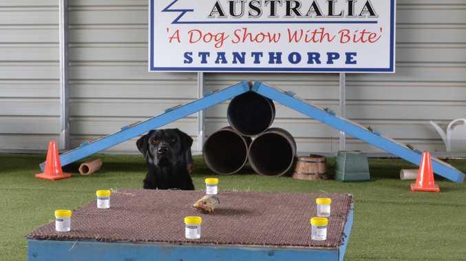 A dog training at Lawdogs Australia in Stanthorpe to detect certain types of cancer.