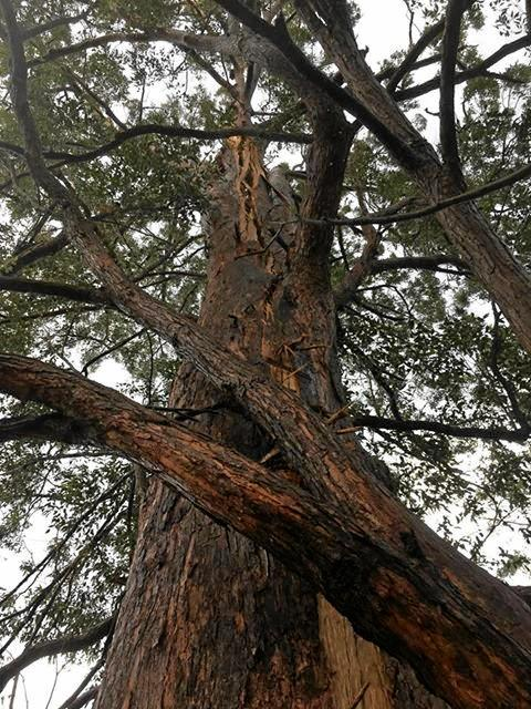 SPLIT: A direct hit by a bolt of lightning caused this tree trunk to split in Townsend.