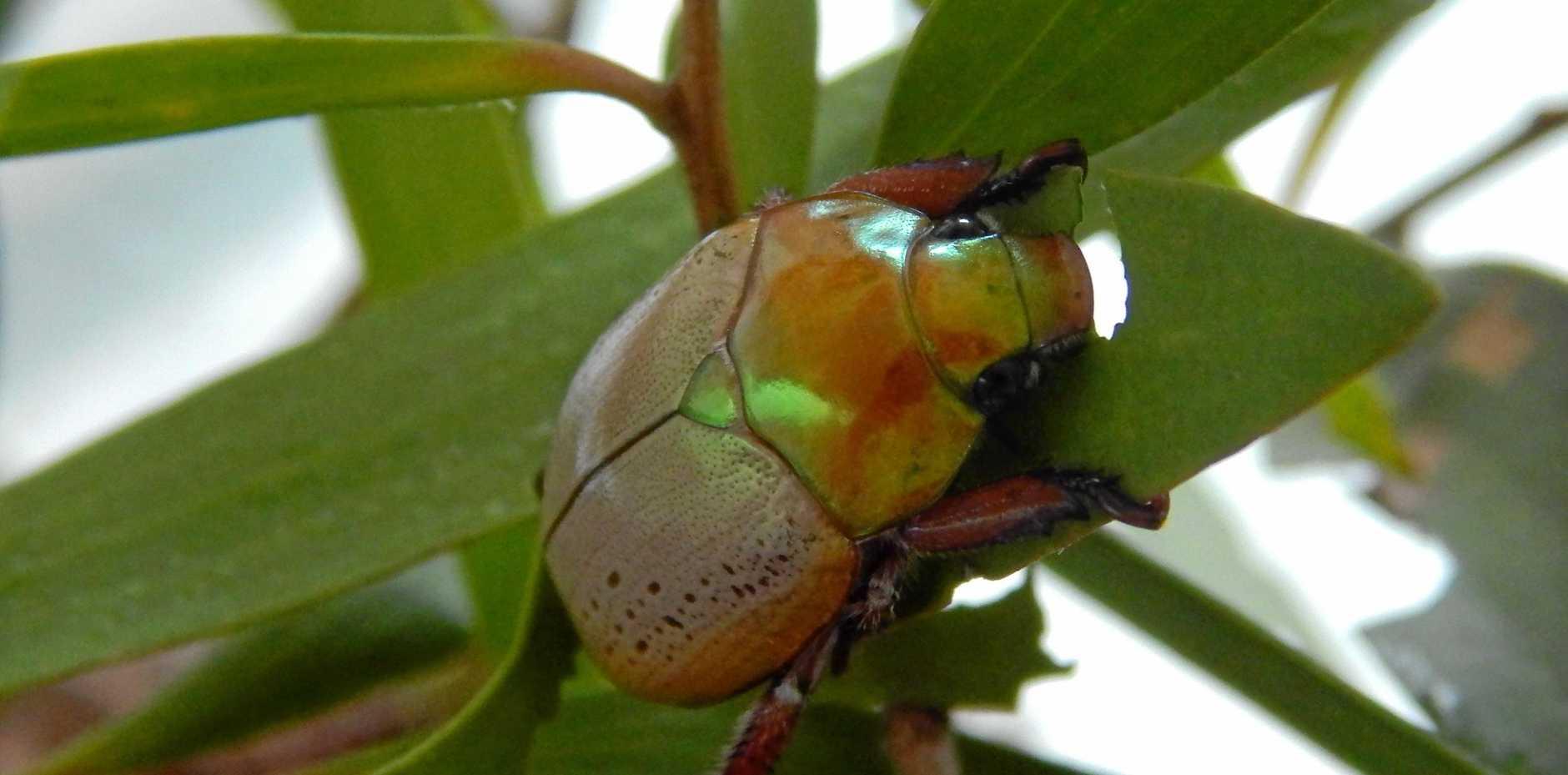 FESTIVE FLAIR: A golden Christmas beetle enjoying some eucalyptus leaves.