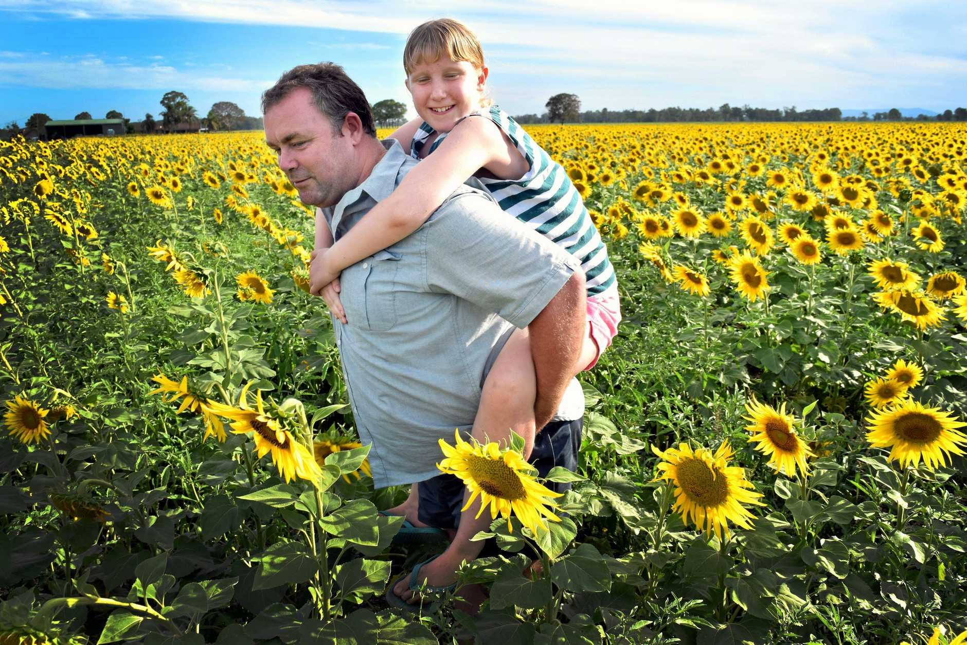 Andrew and daughter Paige Humphreys in a sunflower field outside Casino, before her life-saving operation (above left, pictured with mum Victoria) in the US.
