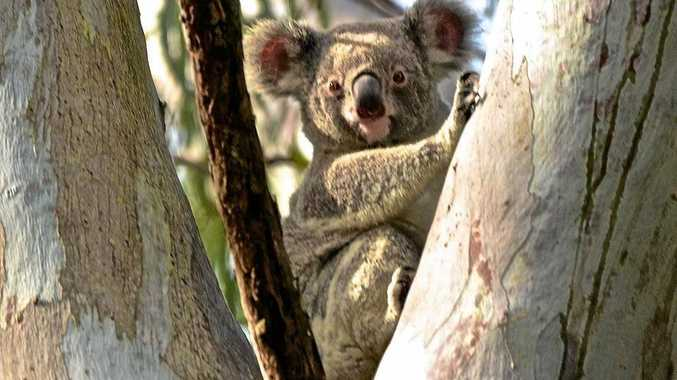 NO WARNING: Koala warning signs at Mckinnon Dr are not approved for now.