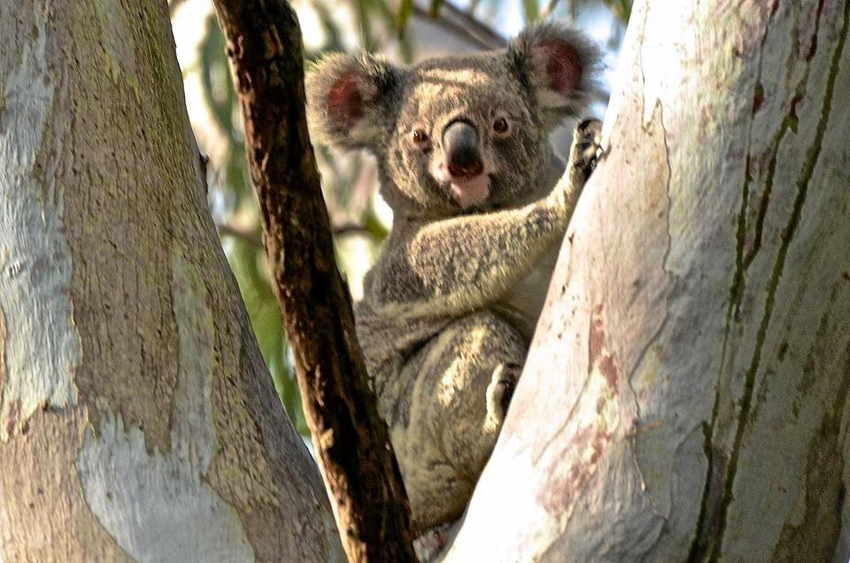 There's still koalas to see in Noosa. Sylvia Wallis