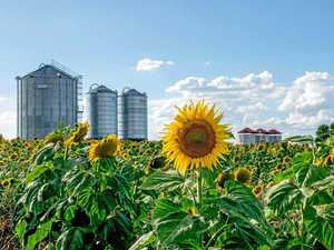 BRIGHT IDEA: First sunflowers sow seed for tourism makeover